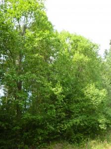 Vihreät puut.